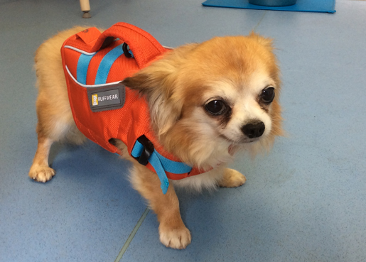 Buttons, Chihuahua- Rehabilitation of Fractured Spine
